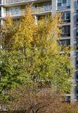 Yellow Maple & Crab Apple Trees