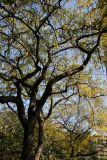 Locust Foliage