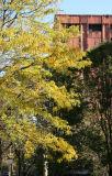 Locust Tree & NYU Library