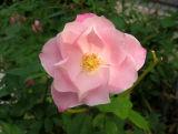 Pink Simplicity Rose