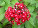 Penta or Starflower
