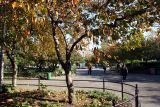 Cherry Tree Foliage - Thompson Street Entrance