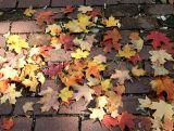 Maple Loose Ground Foliage