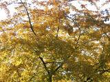Yellow Maple Folliage