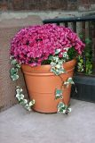 Chrysanthemum & Ivy Pot