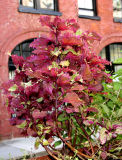 Coleus & NYU's Institute of French Studies