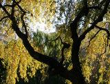 Cherry & Willow Trees