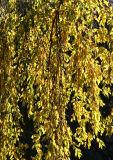 Cherry Tree Foliage - 'Golden Waterfall'