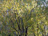 Cherry Tree Foliage
