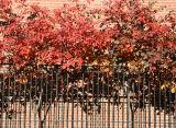 Prunus Tree Foliage - NYU Law School