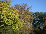 Catalpa, Oak & Linden Tree Foliage