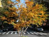 Crepe Myrtle Tree Foliage