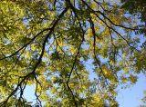 Japanese Pagoda or Scholar Tree Foliage