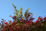 Burning Bush & Ginkgo Foliage