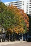 Oak Trees & NYU's Washington Square Village Residences