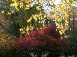 Burning Bush & Golden Elm Foliage