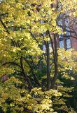 Elm Tree Foliage & NYU Library