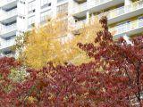 Dogwood & Yellow Maple