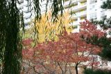 Dogwood, Yellow Maple, Willow & Pine