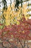Dogwood, Yellow Maple & Willow