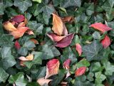 Loose Dogwood Foliage in an Ivy Bed