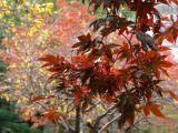 Red Dwarf Maple, Dogwood & Willow