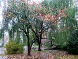 Dogwood & Willow Trees
