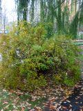 Bridal Veil Bush & Willow Tree Branches