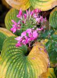 Cleome Blossom & Hosta Foliage