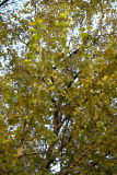Mulberry Tree Foliage