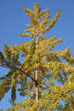 Ginkgo or Maidenhair Tree Foliage