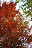 Maple & Osage Orange Foliage