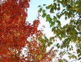 Maple & Osage Orange Foliage