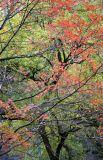 Maple & Osage Orange Tree Foliage