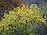 Osage Orange Foliage