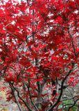 Japanese Red Maple Tree Foliage