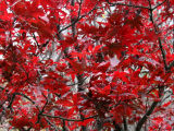 Japanese Red Maple Tree Foliage