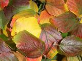 Fothergilla Bush Foliage