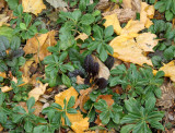 Pachysandra & Ground Foliage