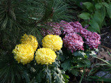 Chrysanthemums & Pine