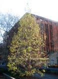 Golden Larch Tree  & NYU Library