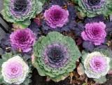 Ornamental Cabbage - 1 Fifth Avenue Sidewalk Garden
