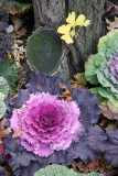 Ornamental Cabbage at the Base of a Ginkgo Tree