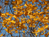 A Hat of Yellow Birds in Flight - Norwegian Maple Foliage