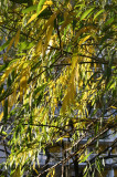 Willow Foliage