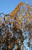 Copper Beech Foliage