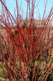 Red Twig Cornus Dogwood