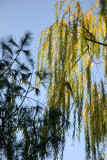 Willow Tree & Pine Tree Foliage