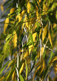 Willow Tree Foliage