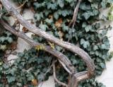 Wisteria & Ivy Vines